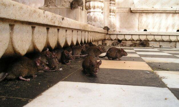 3 gode råd til rottebekæmpelse